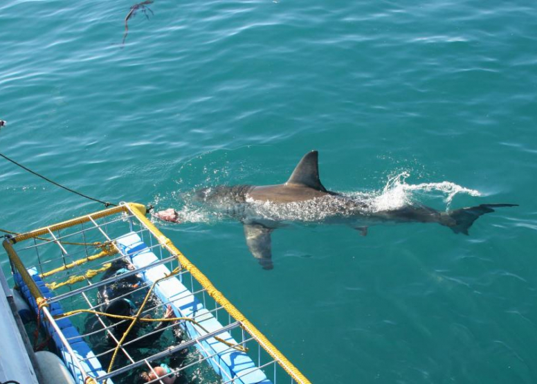 Shark Cage Diving Full Day image 1