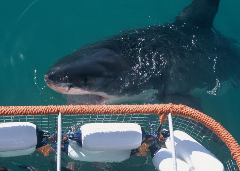Shark Cage Diving Full Day image 3
